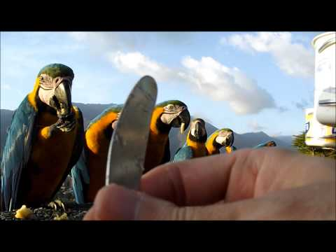 En HD, Muchas Guacamayas Azules mansas en Caracas con el Avila de fondo