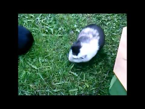My guinea pigs playing outside.