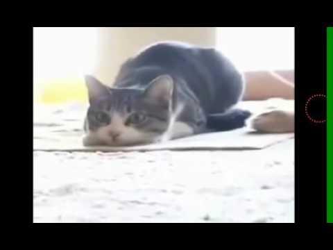 gato dançando Vigo Vigo Vigo