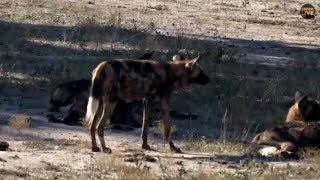 Pt 2  Safari Live's Sunrise Safari Drive at 8:30 AM on May 08, 2018 ( Xidulu & Wild Dogs )