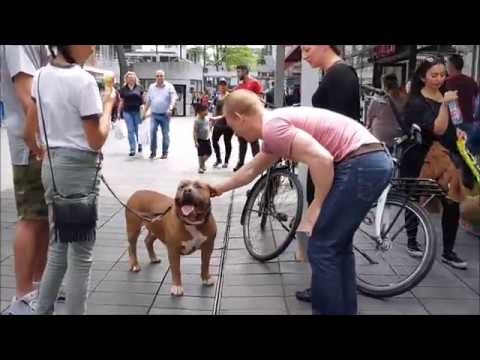 How people react when you walk with a 150 lbs pitbull in Rotterdam centrum