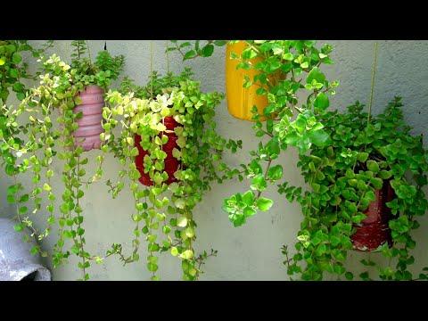 How I grow Tangled heart plant in Hindi