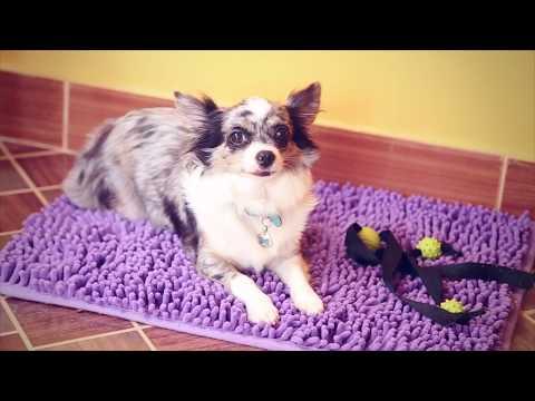 Ошейник и шлейка для собаки: ошейник VS шлейка  | Чихуахуа Софи