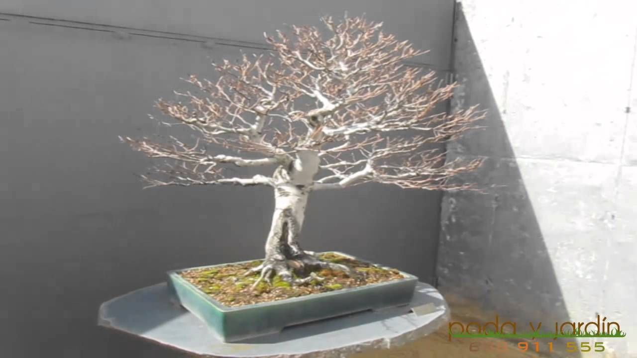 Podas y talas fagus sylvatica haya bonsai www - Bonsai de haya ...