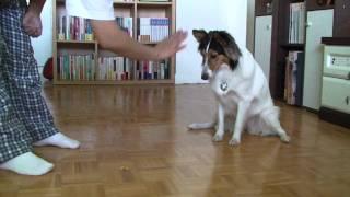 Jenny's Show(Shetland Sheepdog)