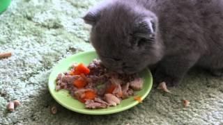Шотландский Вислоухий котенок ест :)