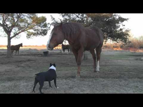 Quarter Horse Stud Meets Boston Terrier