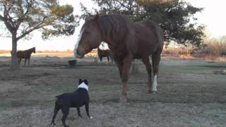 Quarter Horse Stud Meets Boston Terrier