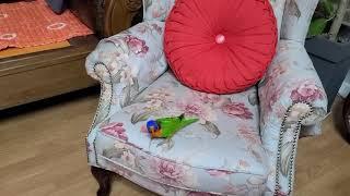 오색청해 앵무새 앵두는 무법자!