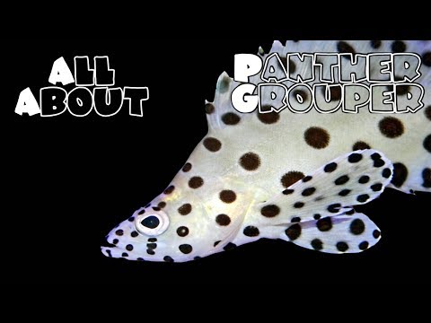 All About The Panther Grouper