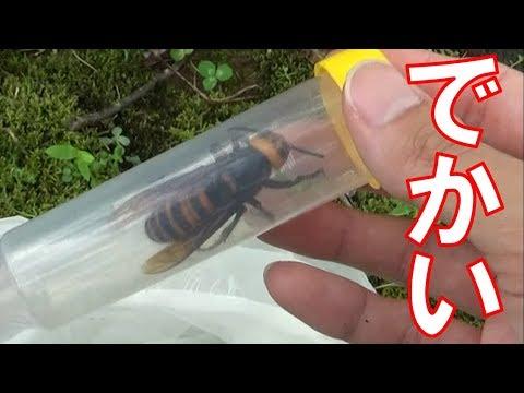 巨大スズメ�������久��り�����オオスズメ���デカ��� Too huge!! I caught a huge Hornet...