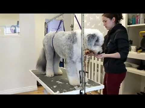 Full Groom - Ludo - Old English Sheepdog