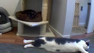 Fluffy Tubby Tummy Plop and a Heckin' Stretch.. (CatCam)