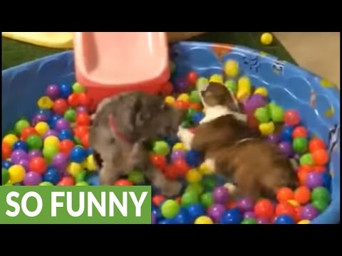 Dogs thrilled to play in mini pool ball pit