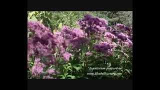 Eupatorium purpureum video