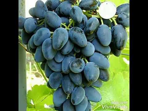 jual-bibit-anggur-viking,-anggur-witch-finger,-anggur-smaragd-ke-seluruh-indonesia-085733660033