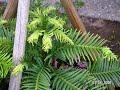 Wollemia nobilis / Wolemie / monotype Gattung