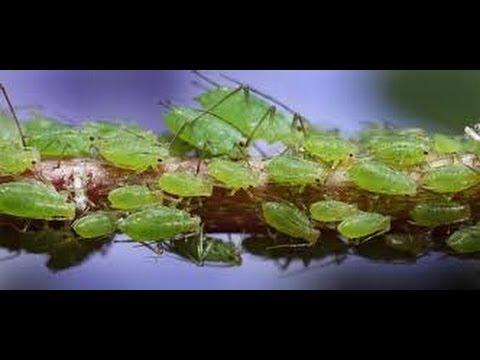 видео: Муравьи и Тля Как бороться 2 ants and aphids how to deal 2