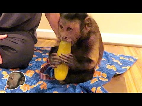 Monkey GIANT Pickle Party!