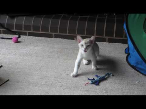 Donald the noisy Burmilla kitten