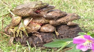 😋Amazing Frog Mating -How to catch big frogs-crazy frog-catching frog-frog Hunter-Amazing Frog trap