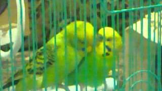 عاشق ومعشوق (طيور الحب)