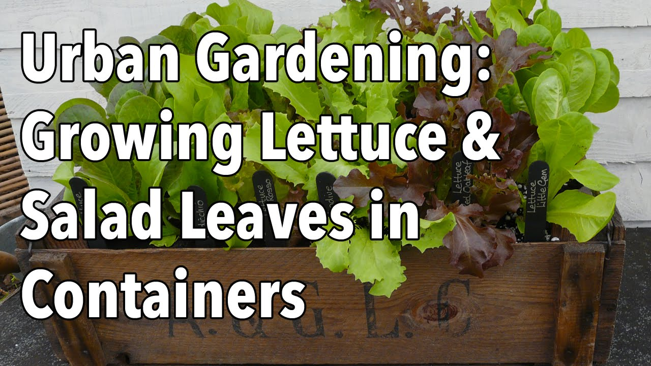 Urban gardening growing lettuce salad leaves in containers youtube - Salads can grow pots eat fresh ...