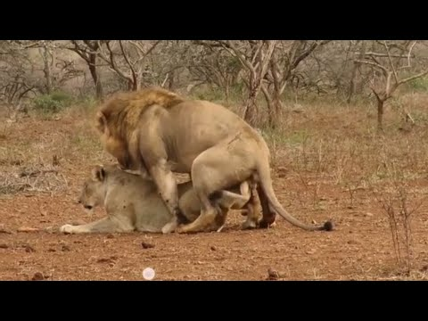 Ngorongoro Nataional Park Wild Animals Sex Part 3(Official Videos)