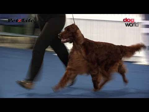 Belfast Dog Show 2015 - Gundog group