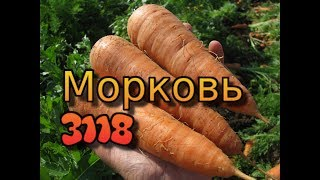 Морковь 3118 - отзывы фермера. Технология выращивания моркови. Характеристика и обзор гибрида 3118 .