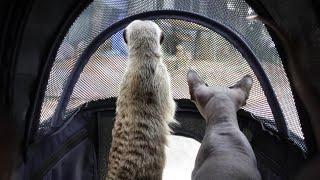 유모차에서 세상 밖을 구경하는 미어캣 티몬이