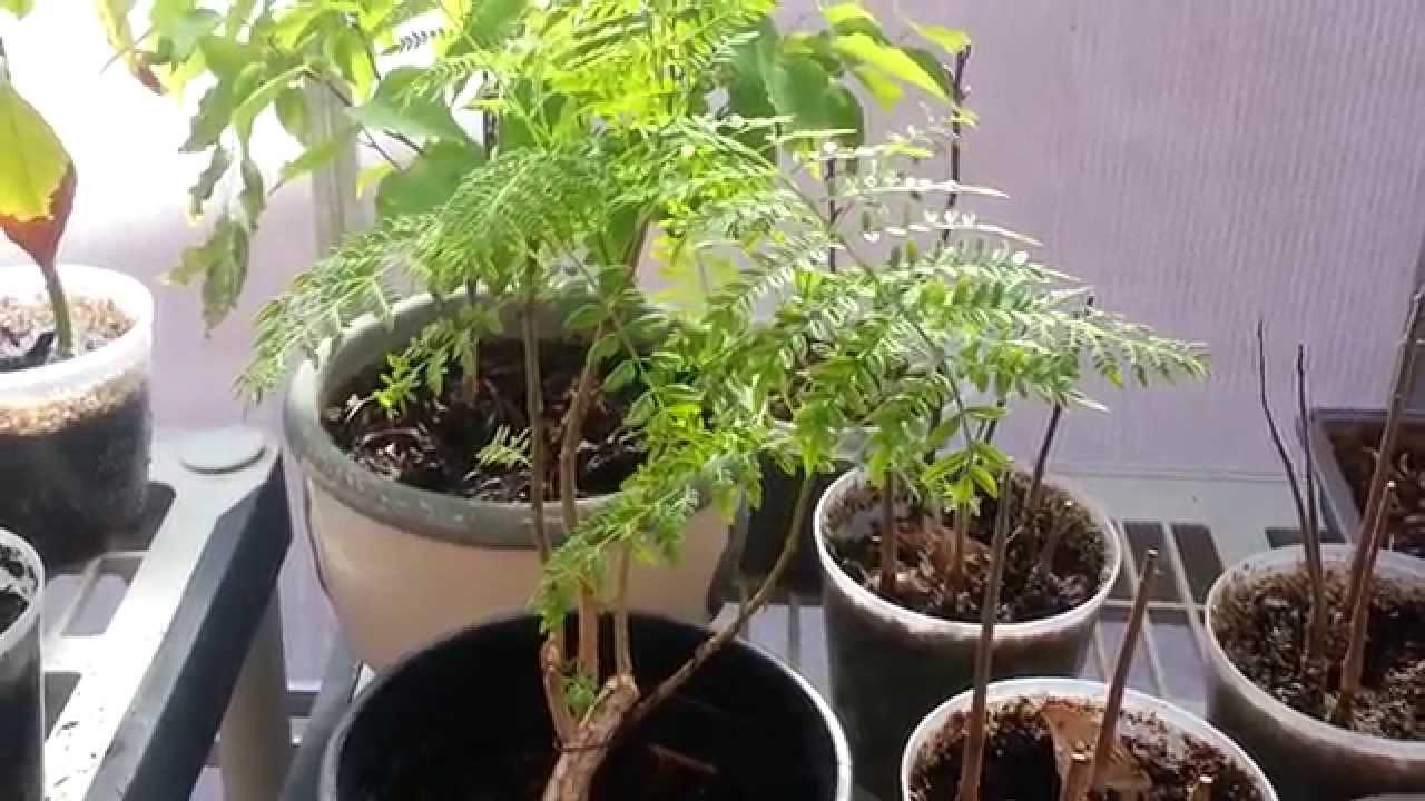 Bonsai Jacaranda Tree Youtube