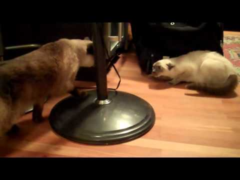 Real Siamese Cat Fight - Sienna vs Aiko - First Time Meeting