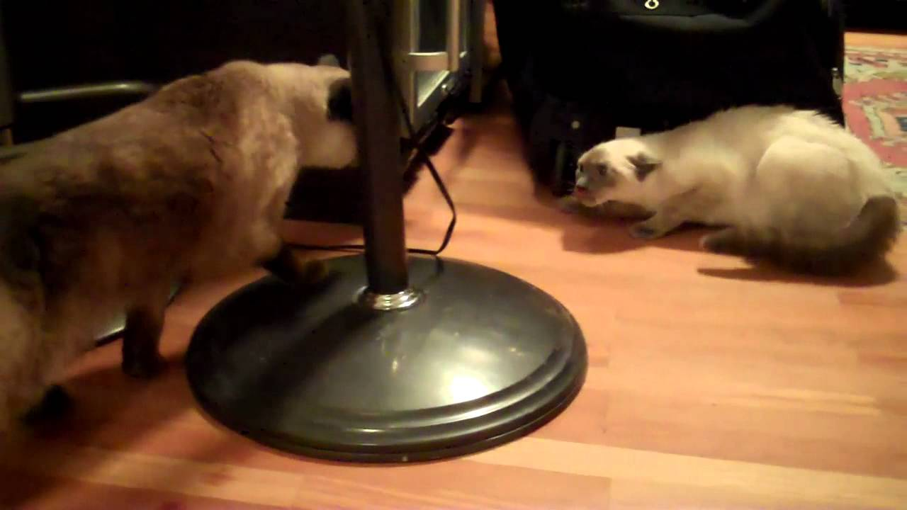 Real Siamese Cat Fight - Sienna Vs Aiko - First Time -6261