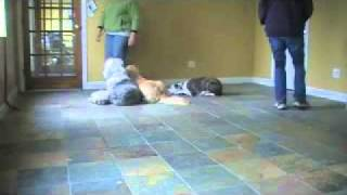 Dog Training: Greeting Visitors Calmly!