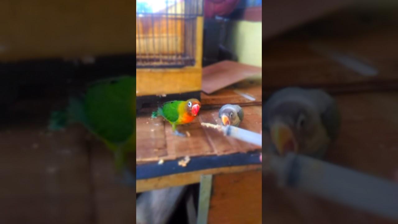 Anakan Lovebird Usia 3bulan 1bulan Youtube