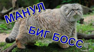 ДИКИЙ КОТ МАНУЛ БИГ-БОСС | MANUL BIG BOSS