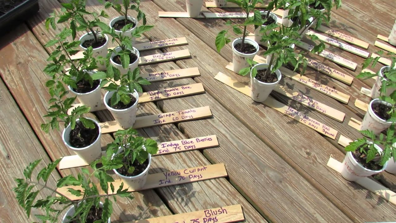 Using Cedar Shims as Tomato Vegetable Plant Markers The Rusted