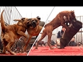 DOG BREED 10 Shortest Living Fastest Dog Breed In The World [Mr Fahey]