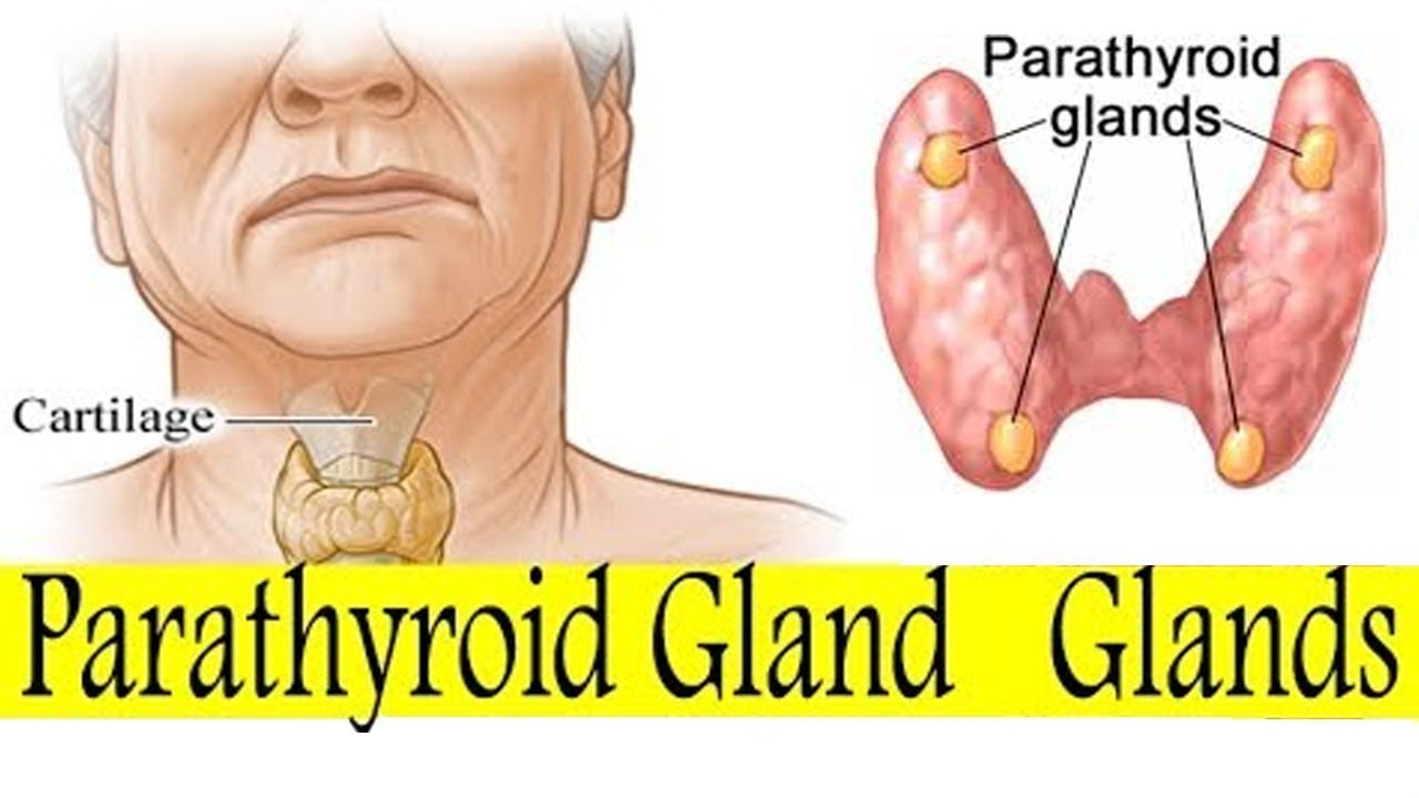 State Board 10th Class Biology Biology Parathyroid Glands