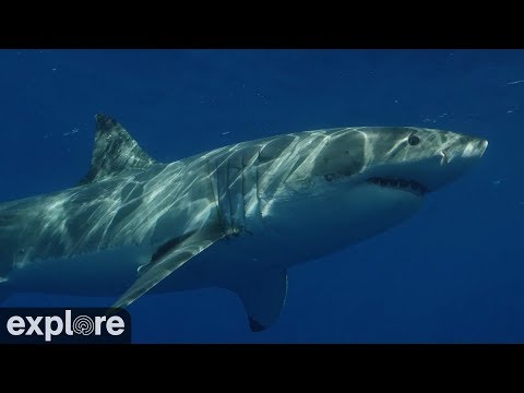Great White Shark Meditation powered by EXPLORE.org