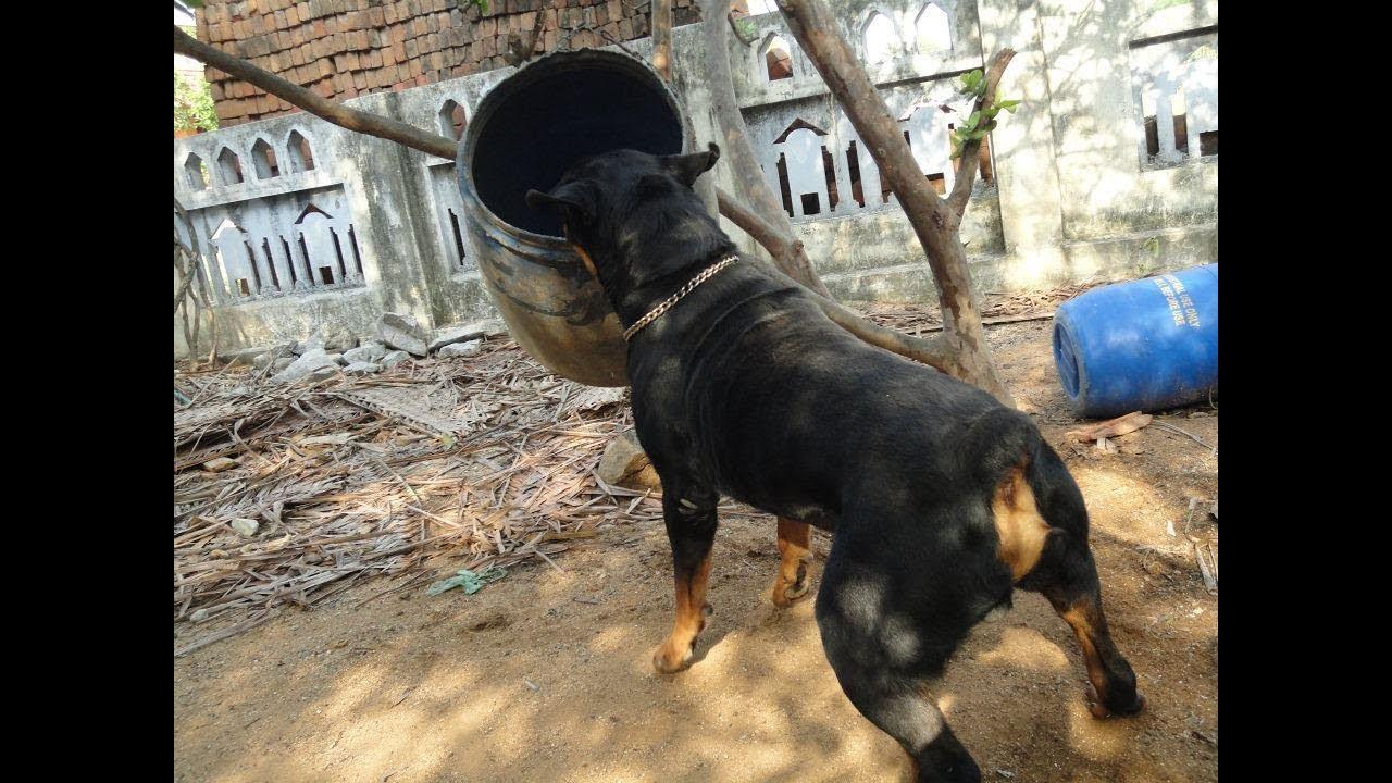 நாய்களுக்கு பயிற்ச்சி அளித்தல் (Dog Training in Tamil)