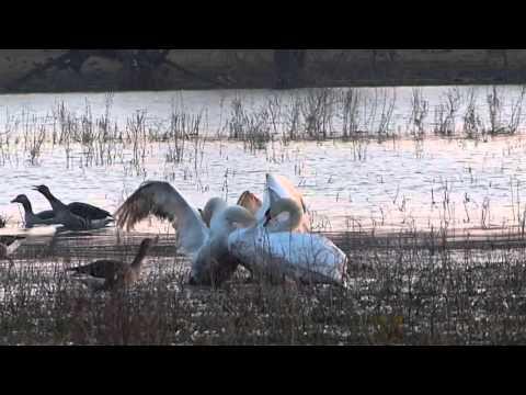Vroege Vogels - Vechtende knobbelzwanen