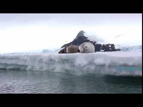 Crabeater seals on an iceberg in Antarctica