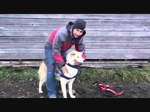 How A Sleddog Harness Should Fit ~ Part III