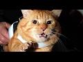 Sahibine Saldıran Kedi