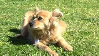 Presentan campaña para colocar el micro chip obligatorio a los perros