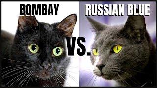 Bombay Cat VS. Russian Blue Cat