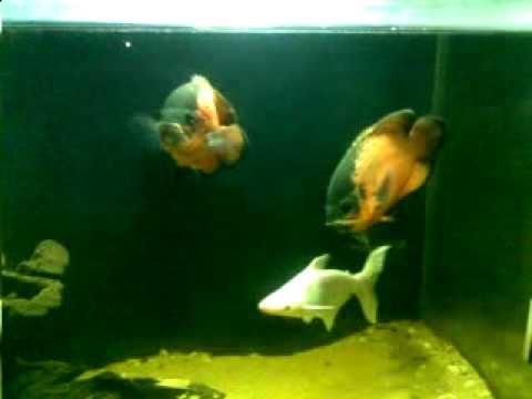 My Oscar Fish Tank