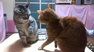 たまに喧嘩します(^-^; グレーの方は18歳のおばあちゃんネコ。 まだまだ...